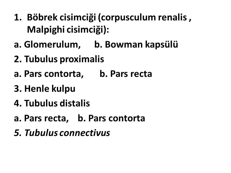 Böbrek cisimciği (corpusculum renalis , Malpighi cisimciği):
