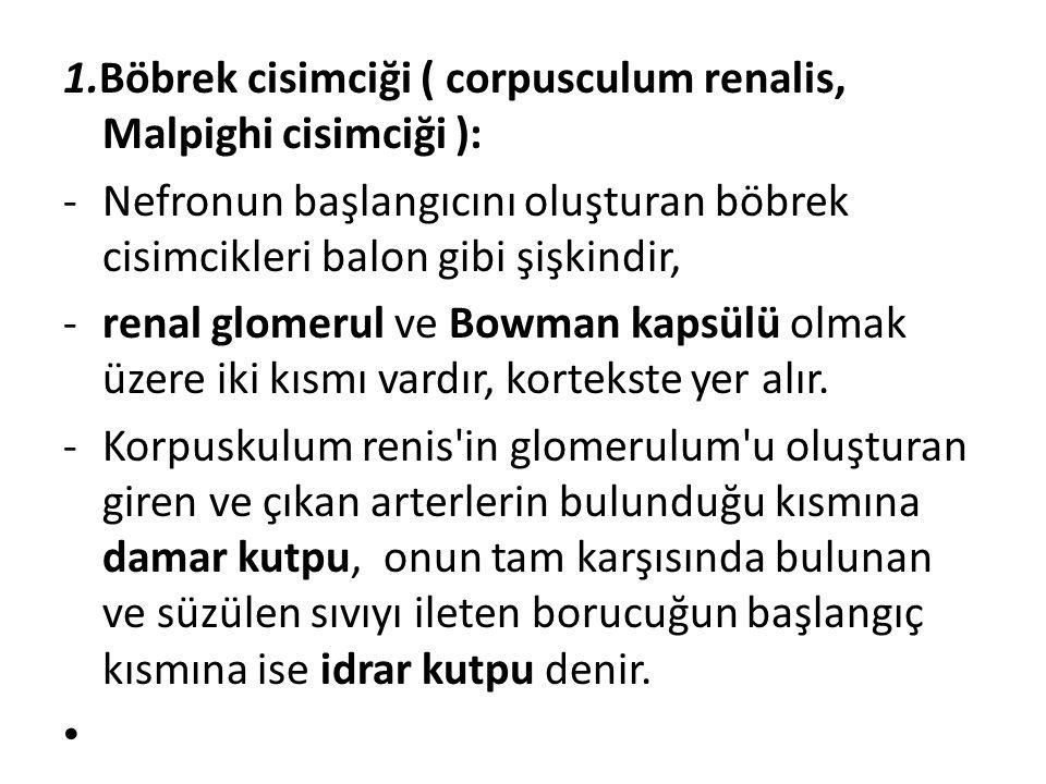 1.Böbrek cisimciği ( corpusculum renalis, Malpighi cisimciği ):