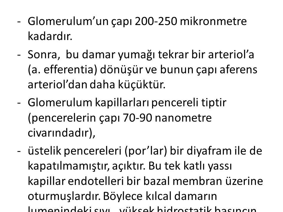 Glomerulum'un çapı 200-250 mikronmetre kadardır.