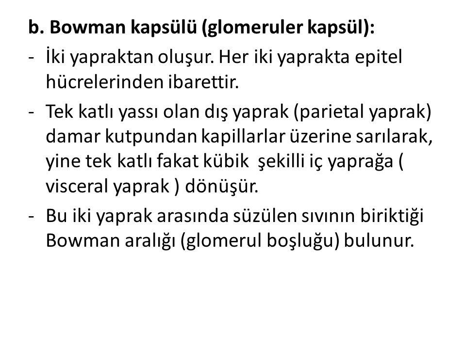 b. Bowman kapsülü (glomeruler kapsül):