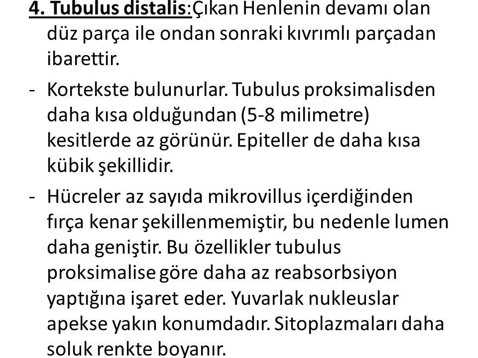 4. Tubulus distalis:Çıkan Henlenin devamı olan düz parça ile ondan sonraki kıvrımlı parçadan ibarettir.