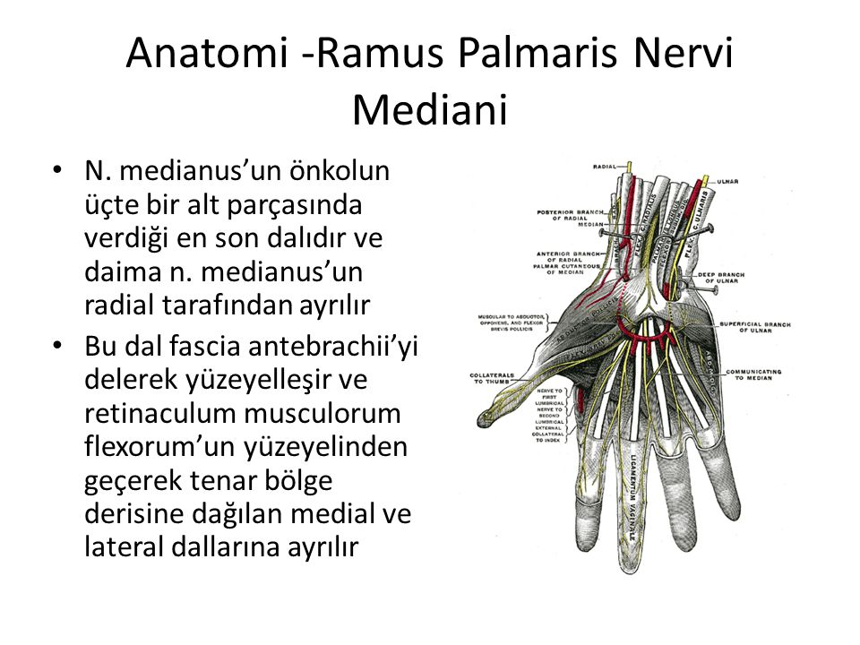 Anatomi -Ramus Palmaris Nervi Mediani