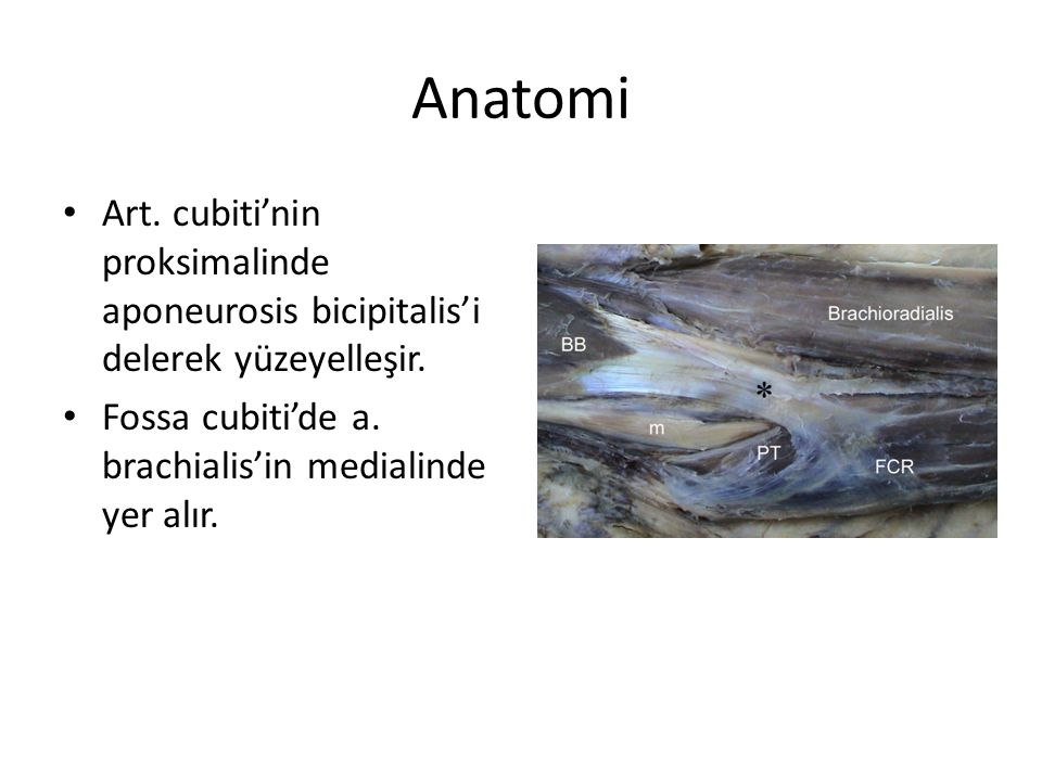 Anatomi Art. cubiti'nin proksimalinde aponeurosis bicipitalis'i delerek yüzeyelleşir.