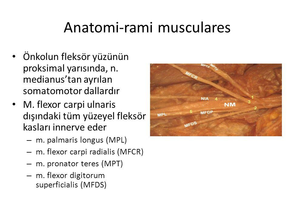 Anatomi-rami musculares