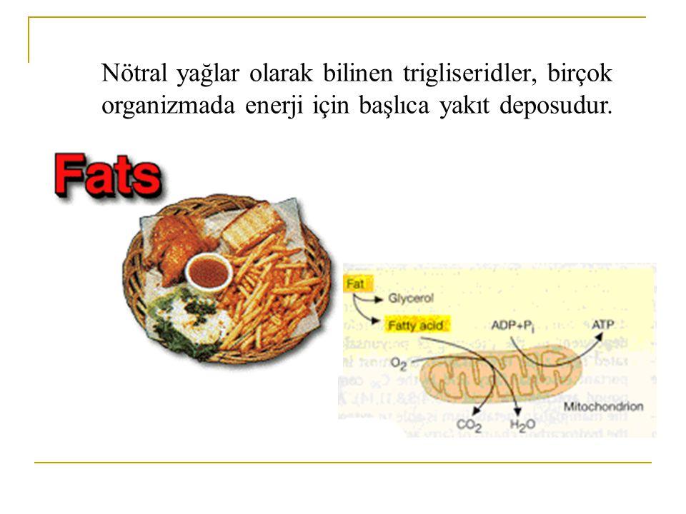 Nötral yağlar olarak bilinen trigliseridler, birçok organizmada enerji için başlıca yakıt deposudur.