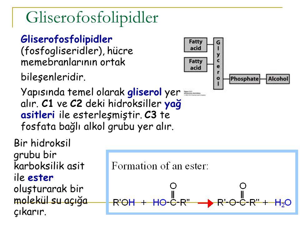 Gliserofosfolipidler