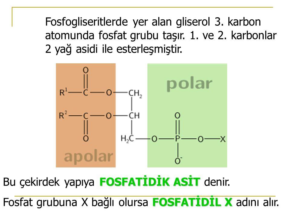 Fosfogliseritlerde yer alan gliserol 3