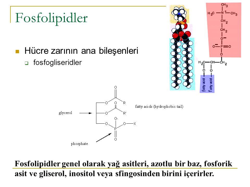 Fosfolipidler Hücre zarının ana bileşenleri