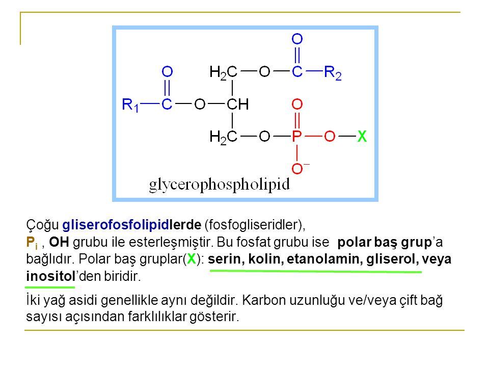 Çoğu gliserofosfolipidlerde (fosfogliseridler), Pi , OH grubu ile esterleşmiştir. Bu fosfat grubu ise polar baş grup'a bağlıdır. Polar baş gruplar(X): serin, kolin, etanolamin, gliserol, veya inositol'den biridir.