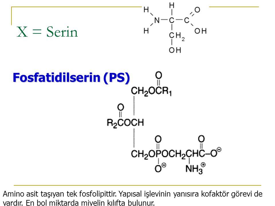 X = Serin Fosfatidilserin (PS)