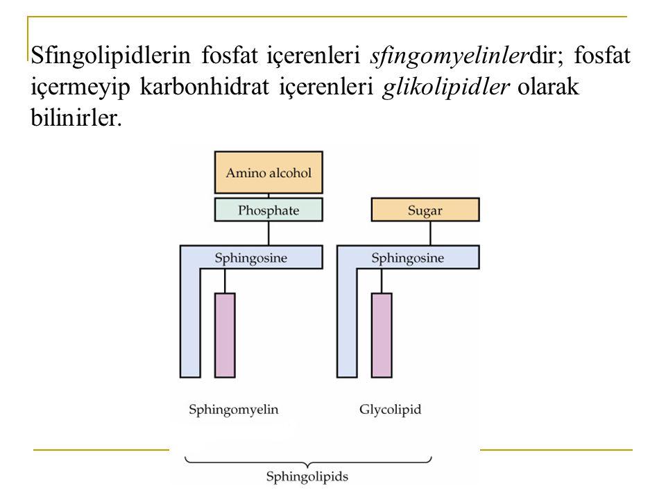Sfingolipidlerin fosfat içerenleri sfingomyelinlerdir; fosfat içermeyip karbonhidrat içerenleri glikolipidler olarak bilinirler.