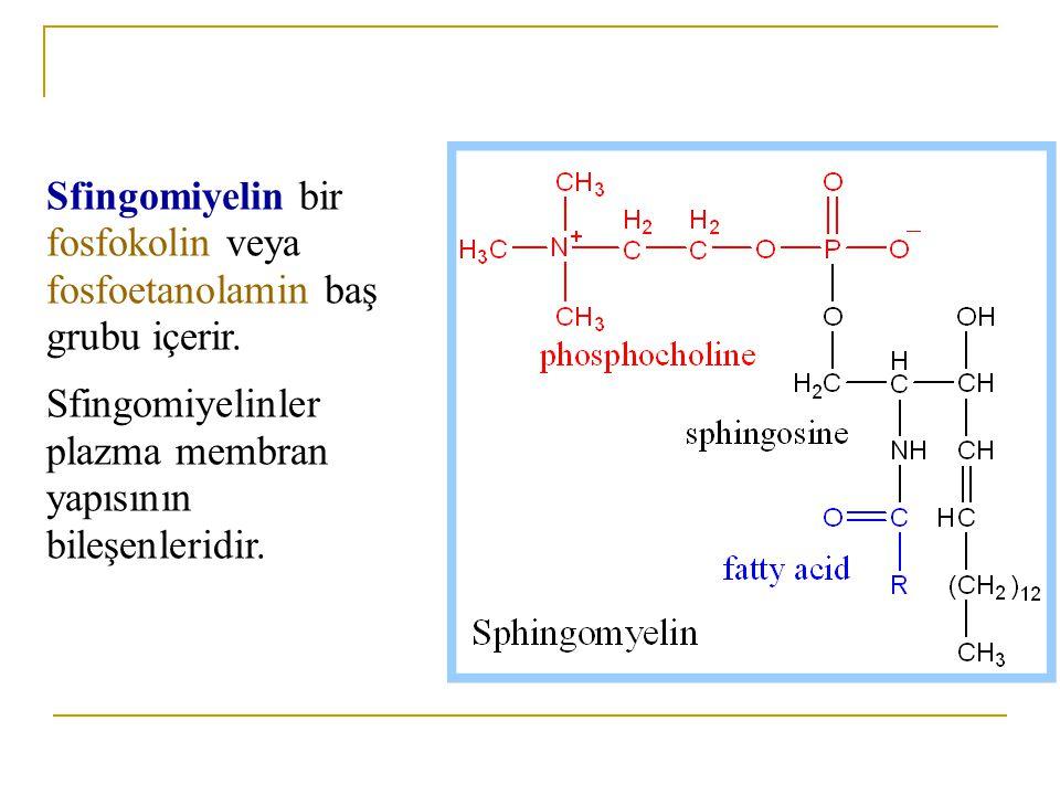 Sfingomiyelin bir fosfokolin veya fosfoetanolamin baş grubu içerir.