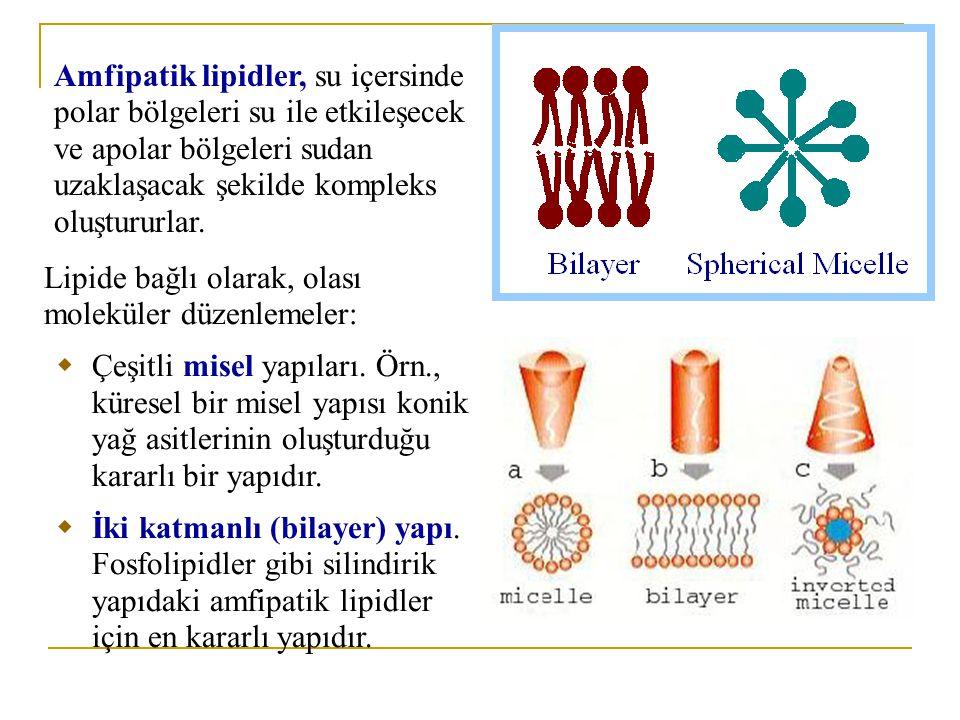 Amfipatik lipidler, su içersinde polar bölgeleri su ile etkileşecek ve apolar bölgeleri sudan uzaklaşacak şekilde kompleks oluştururlar.
