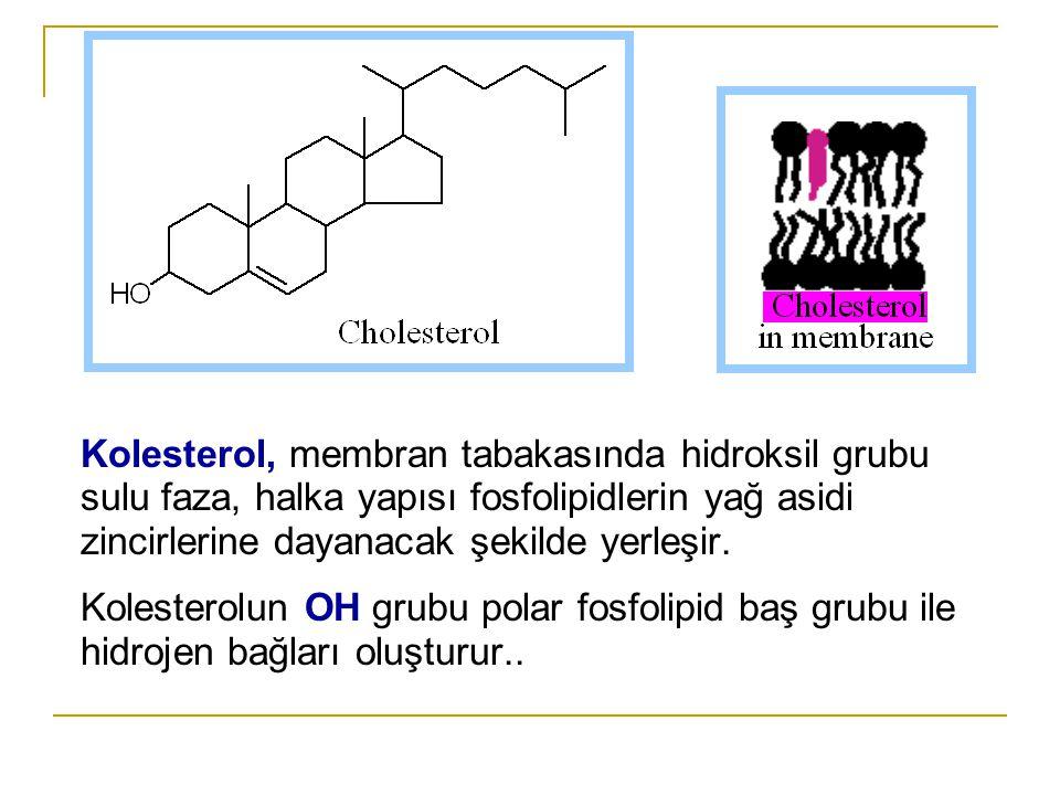 Kolesterol, membran tabakasında hidroksil grubu sulu faza, halka yapısı fosfolipidlerin yağ asidi zincirlerine dayanacak şekilde yerleşir.