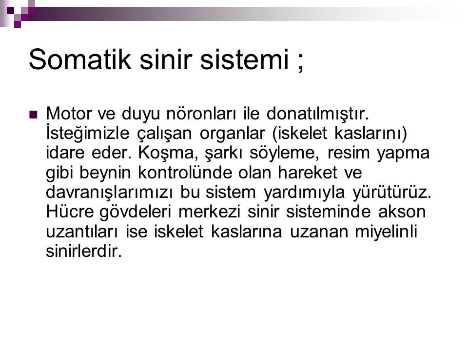 Somatik sinir sistemi ;