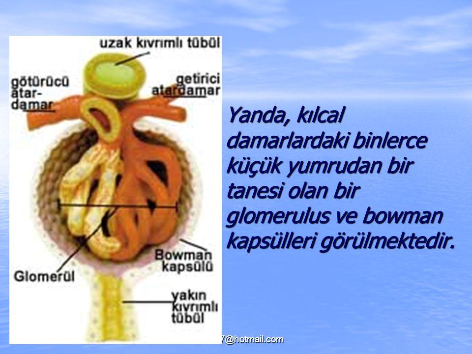 Yanda, kılcal damarlardaki binlerce küçük yumrudan bir tanesi olan bir glomerulus ve bowman kapsülleri görülmektedir.