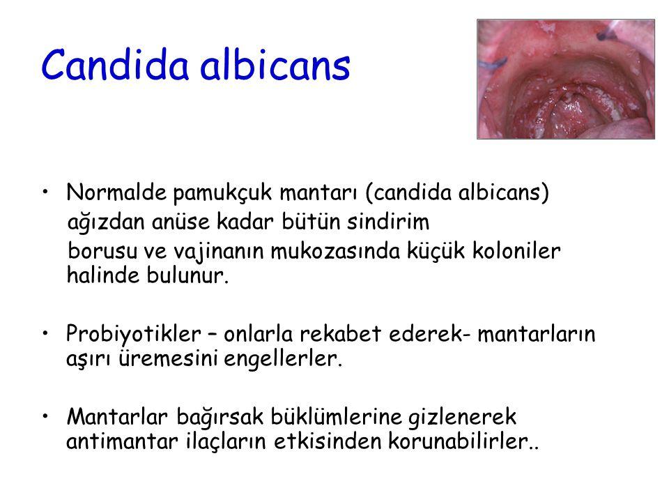 Candida albicans Normalde pamukçuk mantarı (candida albicans)