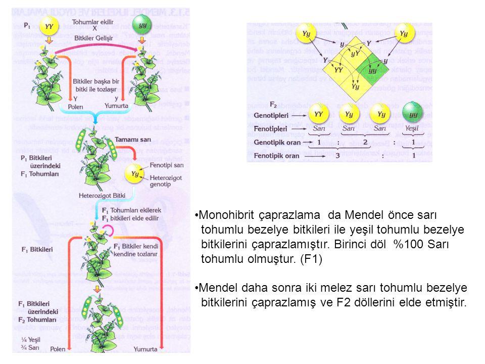 Monohibrit çaprazlama da Mendel önce sarı
