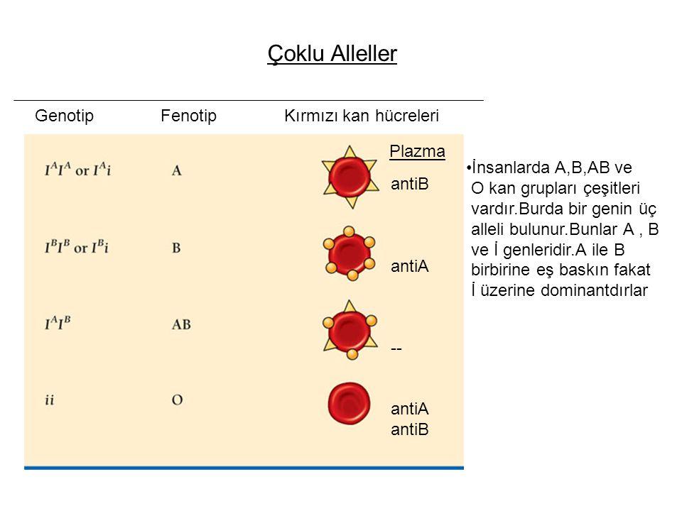 Çoklu Alleller Genotip Fenotip Kırmızı kan hücreleri Plazma