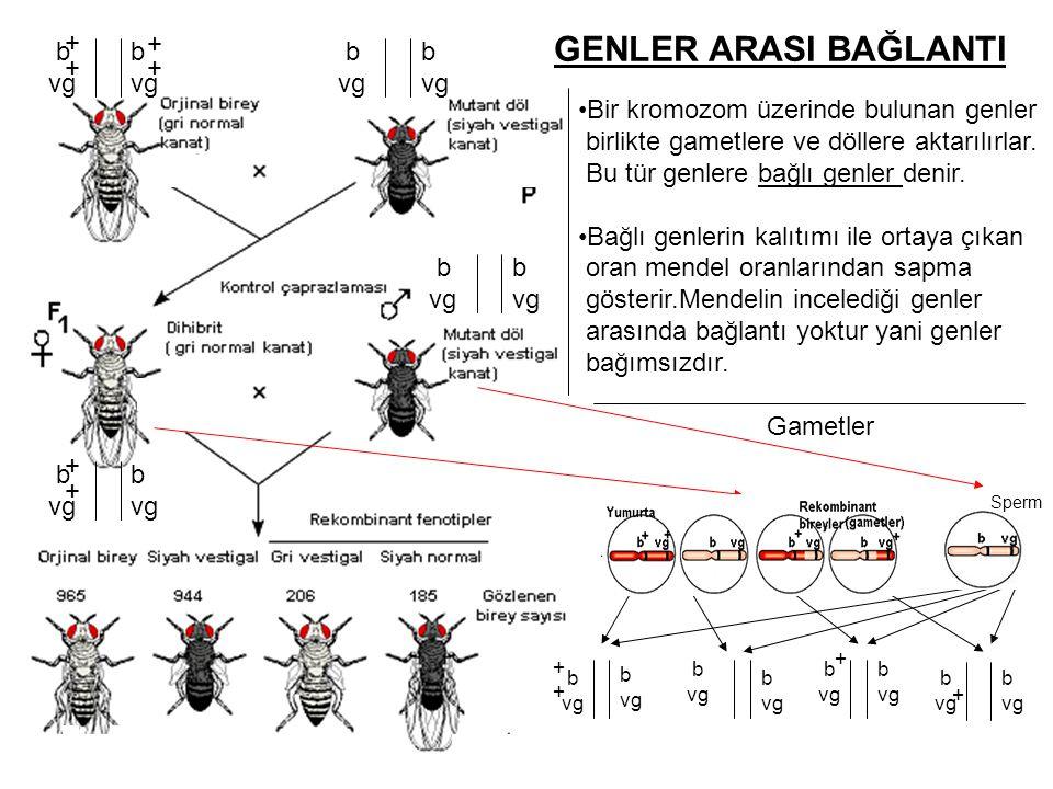 GENLER ARASI BAĞLANTI + + b vg b vg b vg b vg + +