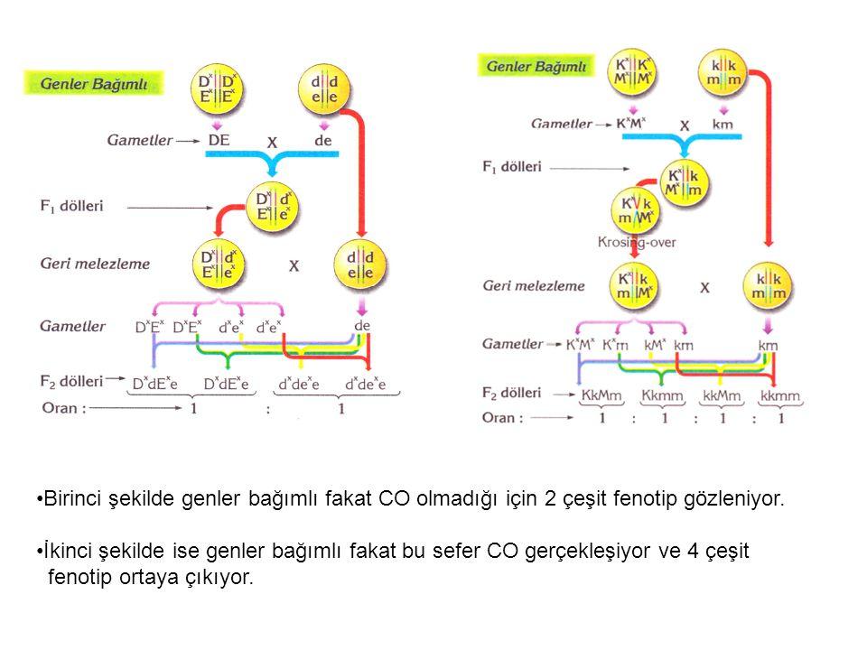 Birinci şekilde genler bağımlı fakat CO olmadığı için 2 çeşit fenotip gözleniyor.