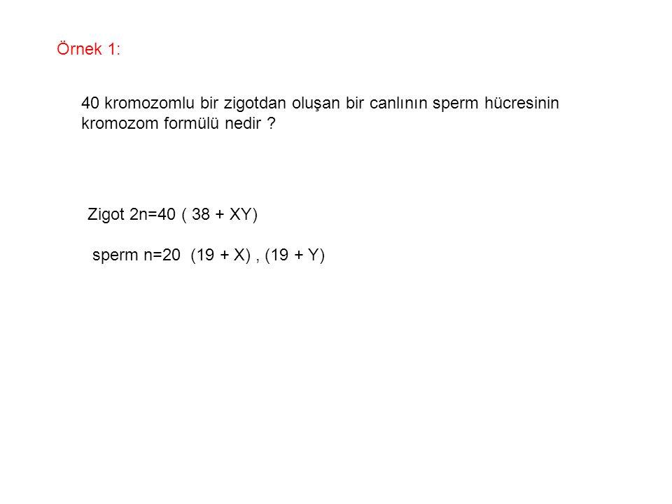 Örnek 1: 40 kromozomlu bir zigotdan oluşan bir canlının sperm hücresinin. kromozom formülü nedir