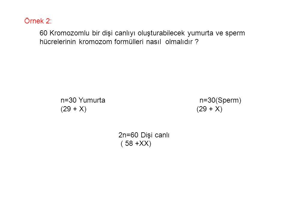 Örnek 2: 60 Kromozomlu bir dişi canlıyı oluşturabilecek yumurta ve sperm. hücrelerinin kromozom formülleri nasıl olmalıdır
