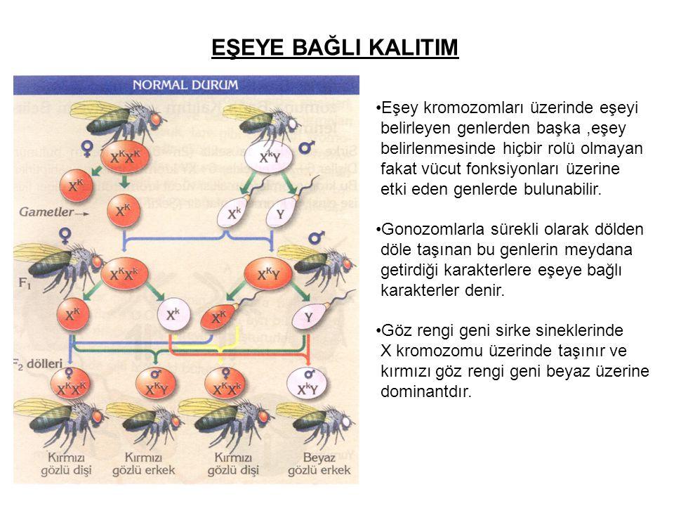 EŞEYE BAĞLI KALITIM Eşey kromozomları üzerinde eşeyi