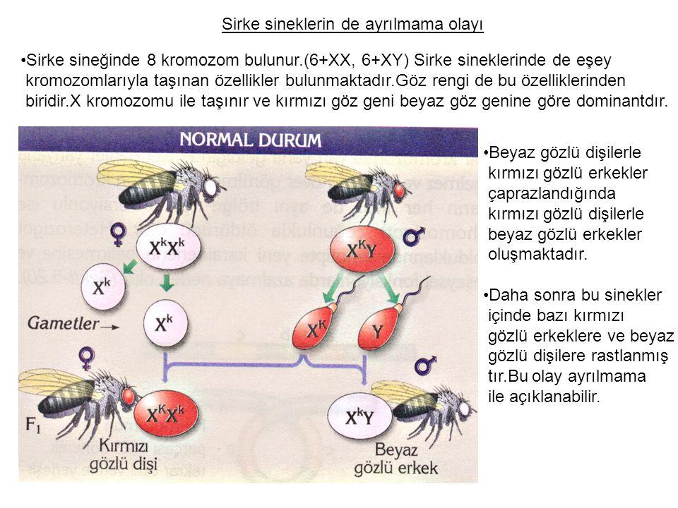 Sirke sineklerin de ayrılmama olayı