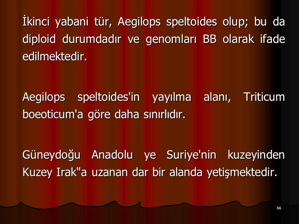 İkinci yabani tür, Aegilops speltoides olup; bu da diploid durumdadır ve genomları BB olarak ifade edilmektedir.