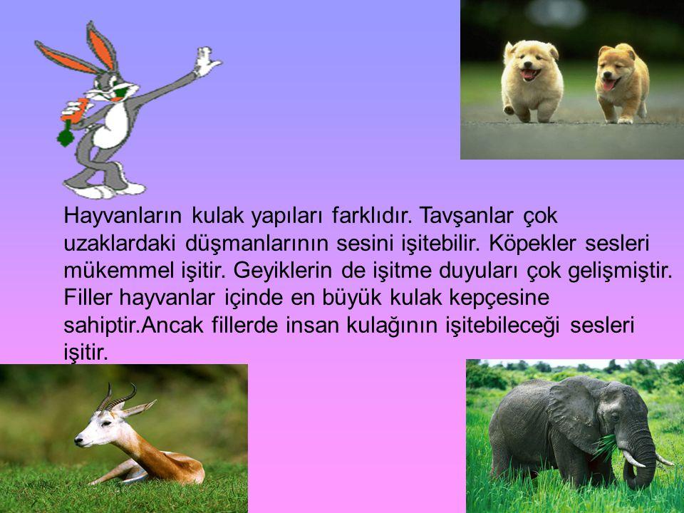 Hayvanların kulak yapıları farklıdır