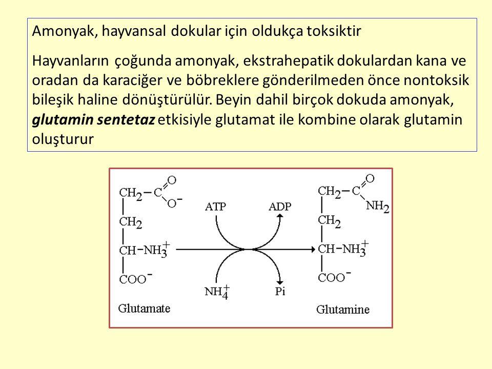 Amonyak, hayvansal dokular için oldukça toksiktir