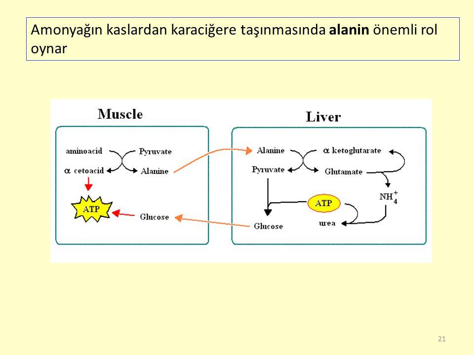 Amonyağın kaslardan karaciğere taşınmasında alanin önemli rol oynar