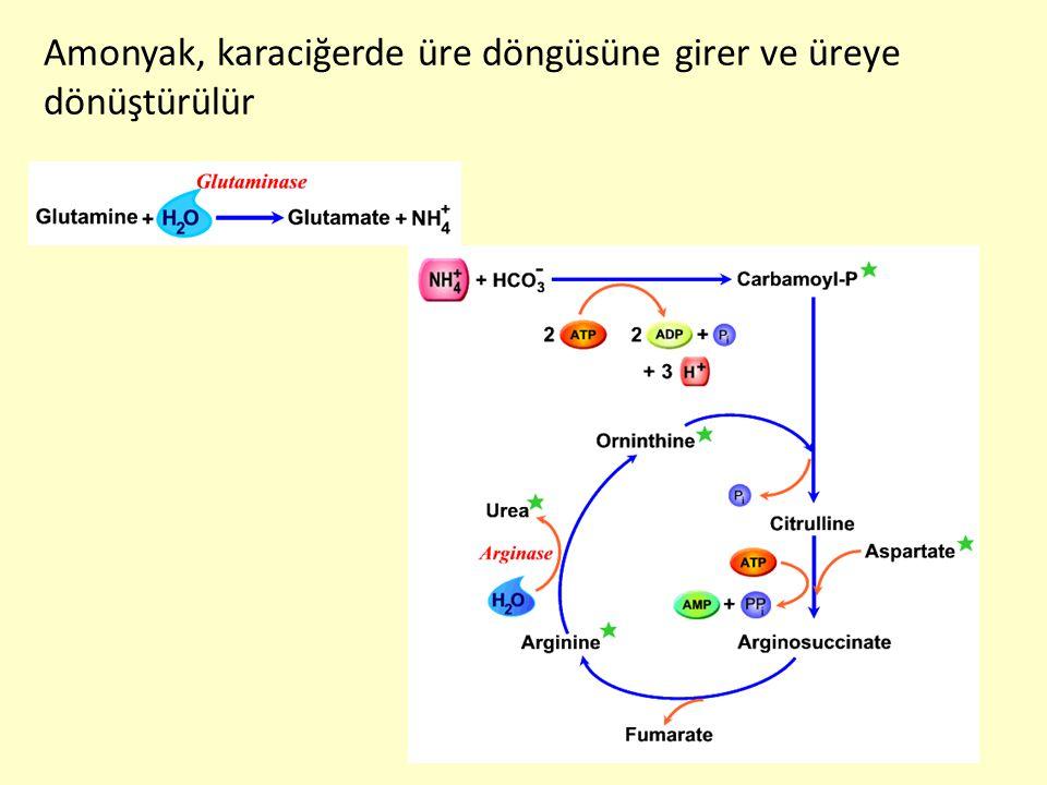 Amonyak, karaciğerde üre döngüsüne girer ve üreye dönüştürülür