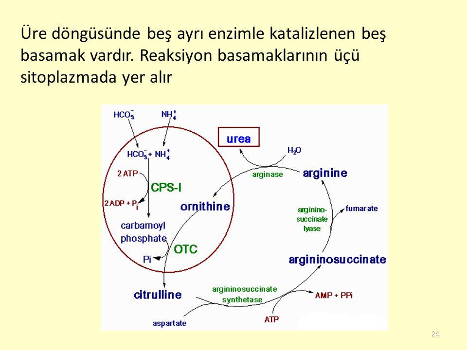 Üre döngüsünde beş ayrı enzimle katalizlenen beş basamak vardır