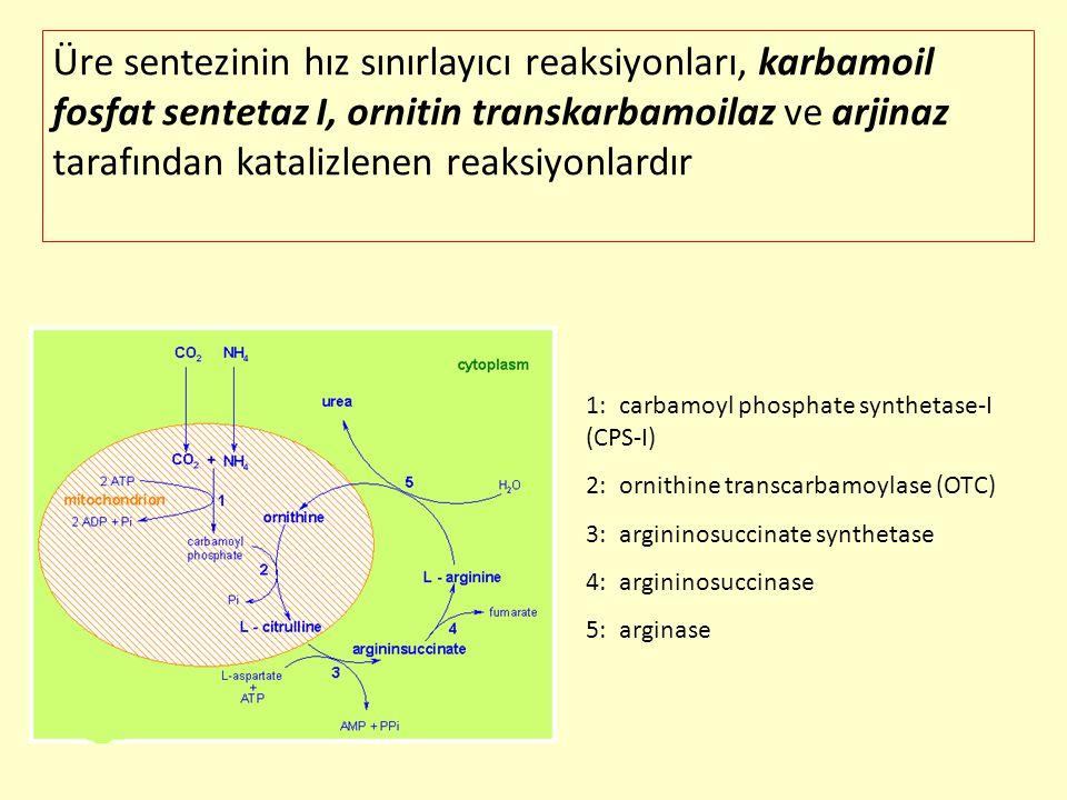 Üre sentezinin hız sınırlayıcı reaksiyonları, karbamoil fosfat sentetaz I, ornitin transkarbamoilaz ve arjinaz tarafından katalizlenen reaksiyonlardır