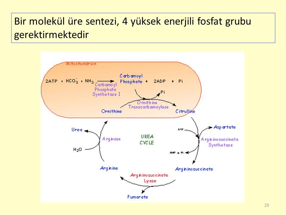 Bir molekül üre sentezi, 4 yüksek enerjili fosfat grubu gerektirmektedir