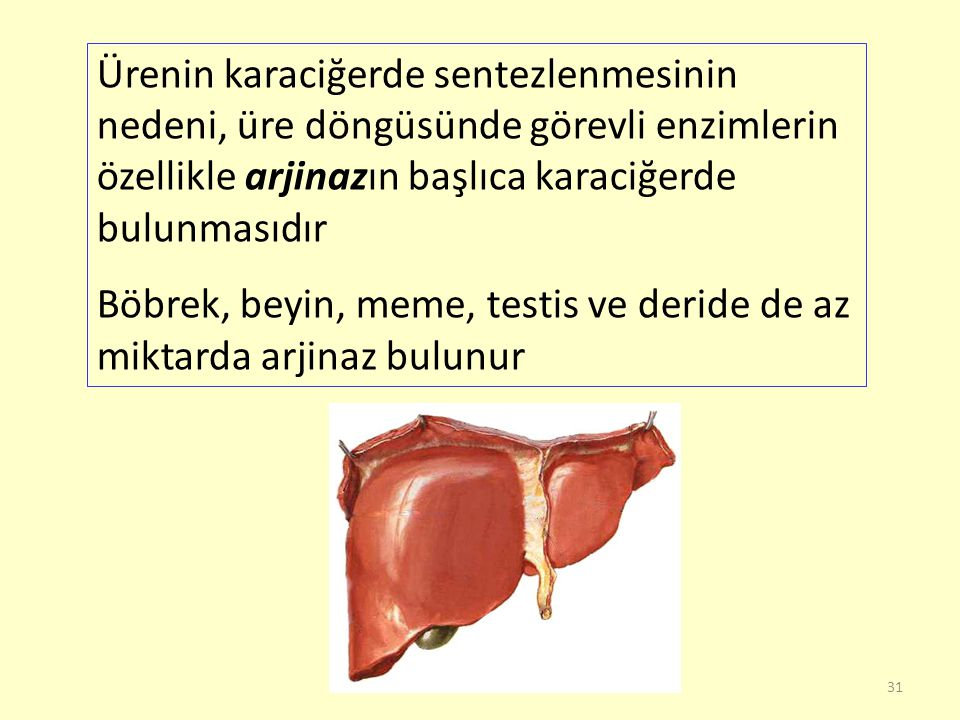 Ürenin karaciğerde sentezlenmesinin nedeni, üre döngüsünde görevli enzimlerin özellikle arjinazın başlıca karaciğerde bulunmasıdır