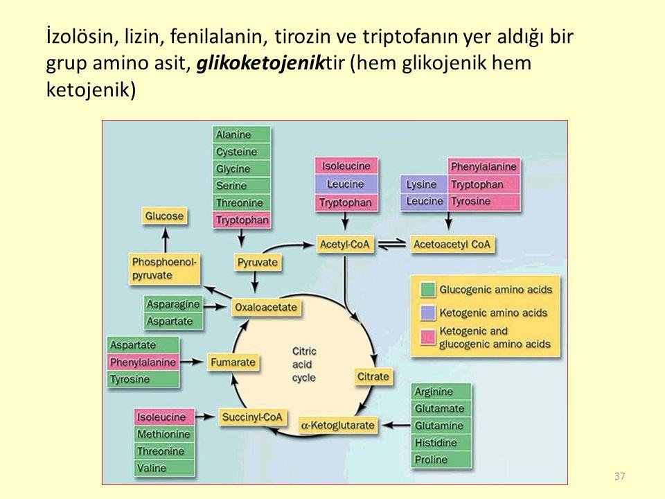 İzolösin, lizin, fenilalanin, tirozin ve triptofanın yer aldığı bir grup amino asit, glikoketojeniktir (hem glikojenik hem ketojenik)