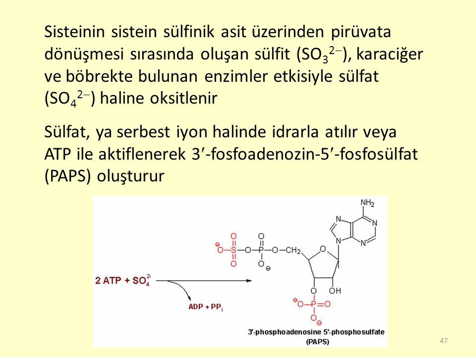 Sisteinin sistein sülfinik asit üzerinden pirüvata dönüşmesi sırasında oluşan sülfit (SO32), karaciğer ve böbrekte bulunan enzimler etkisiyle sülfat (SO42) haline oksitlenir