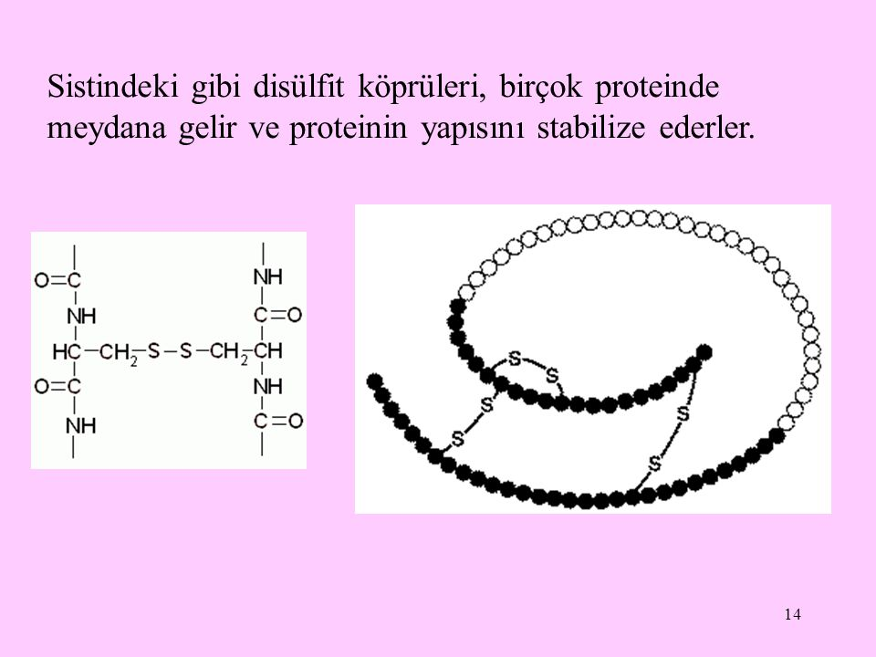 Sistindeki gibi disülfit köprüleri, birçok proteinde meydana gelir ve proteinin yapısını stabilize ederler.