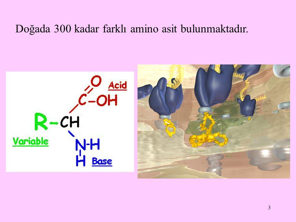 Doğada 300 kadar farklı amino asit bulunmaktadır.