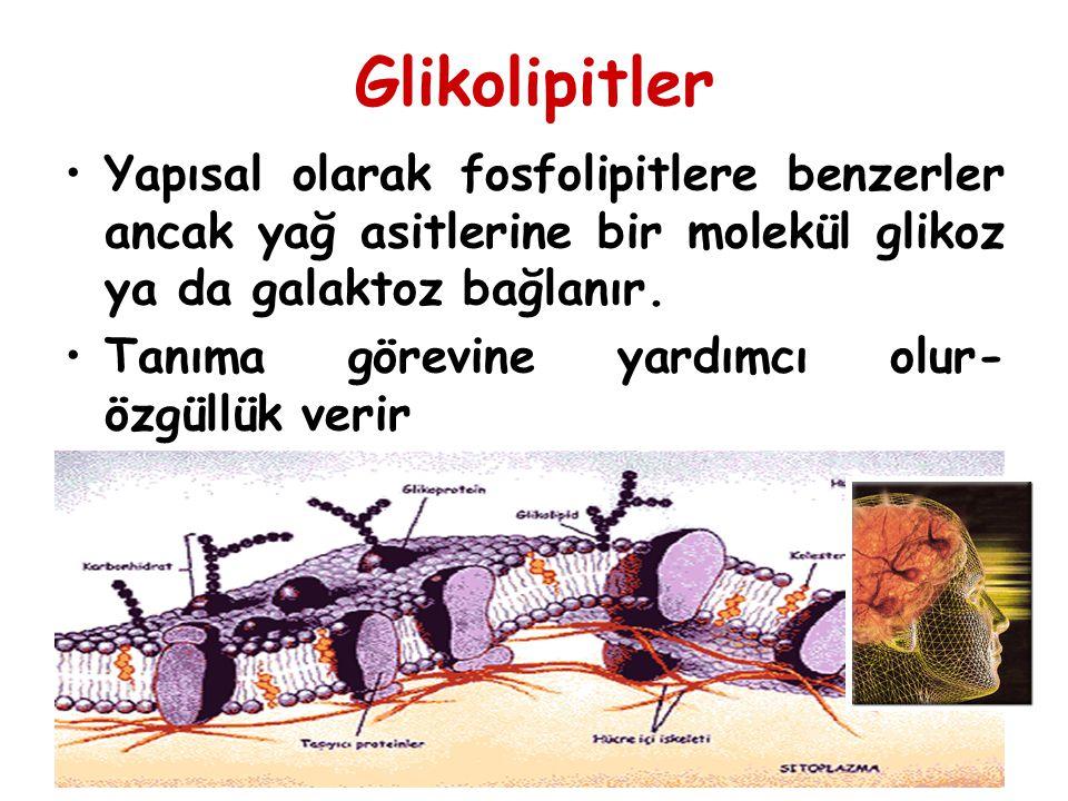 Glikolipitler Yapısal olarak fosfolipitlere benzerler ancak yağ asitlerine bir molekül glikoz ya da galaktoz bağlanır.