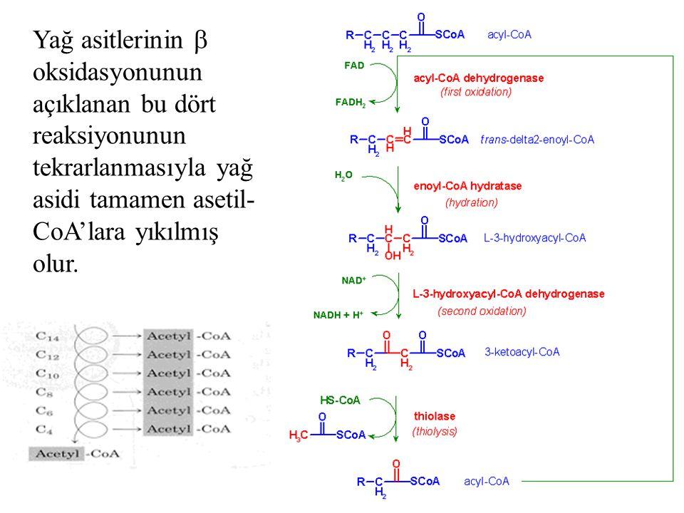 Yağ asitlerinin  oksidasyonunun açıklanan bu dört reaksiyonunun tekrarlanmasıyla yağ asidi tamamen asetil-CoA'lara yıkılmış olur.