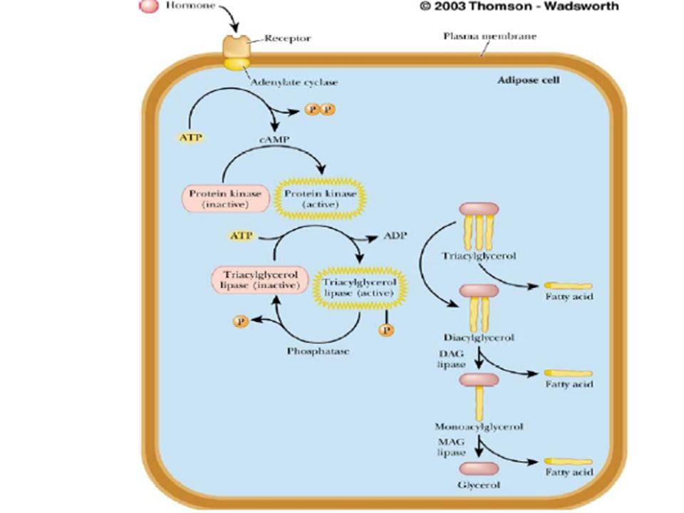 Lipoliz Lipoliz, hormona duyarlı triaçilgliserol lipaz tarafından katalizlenir ve düzenlenir. 4