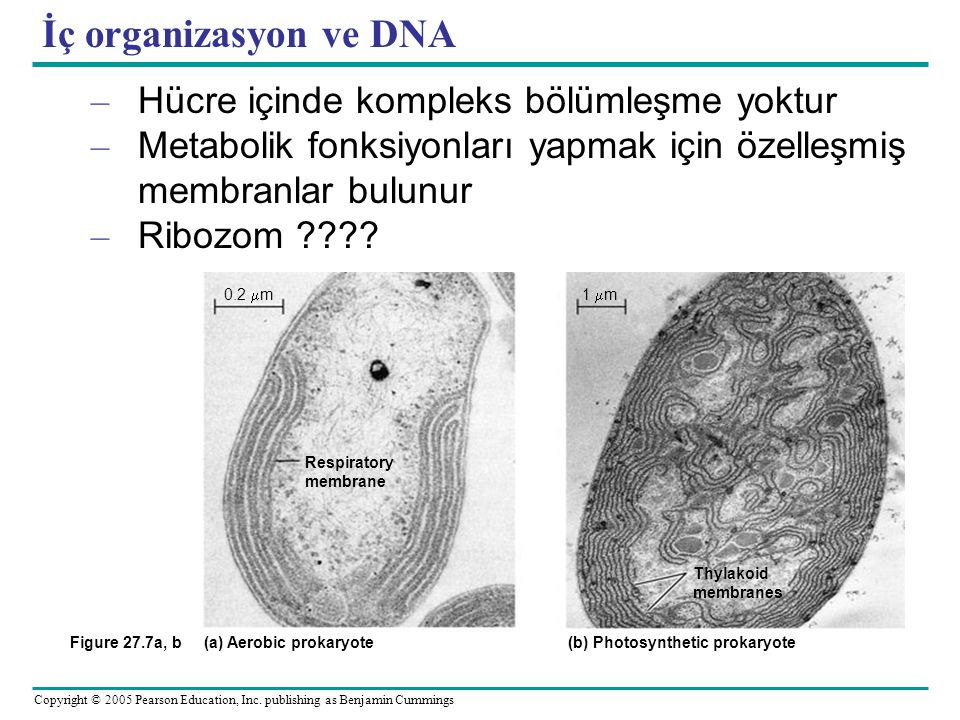 (a) Aerobic prokaryote (b) Photosynthetic prokaryote