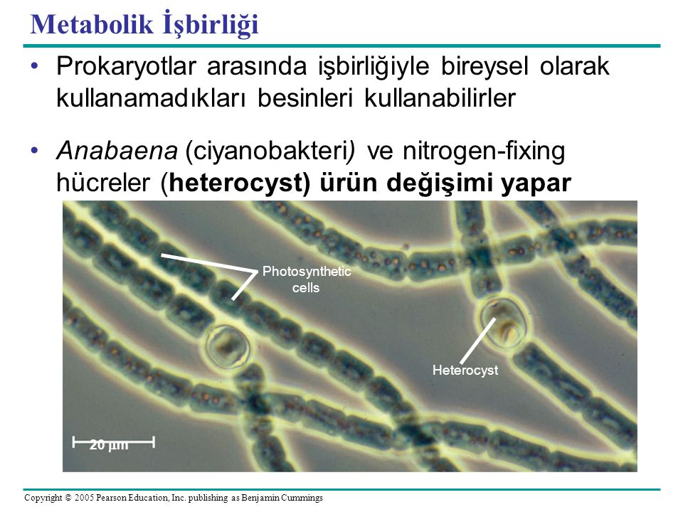 Metabolik İşbirliği Prokaryotlar arasında işbirliğiyle bireysel olarak kullanamadıkları besinleri kullanabilirler.