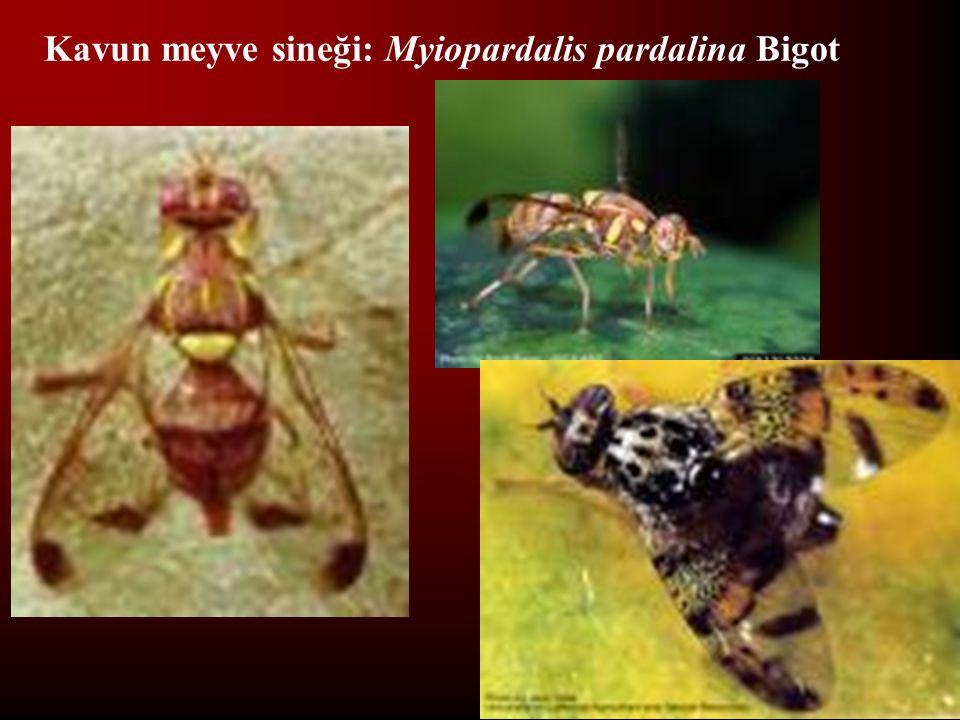 Kavun meyve sineği: Myiopardalis pardalina Bigot