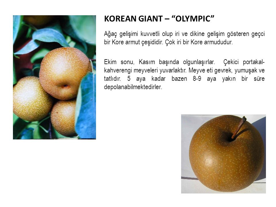 KOREAN GIANT – OLYMPIC