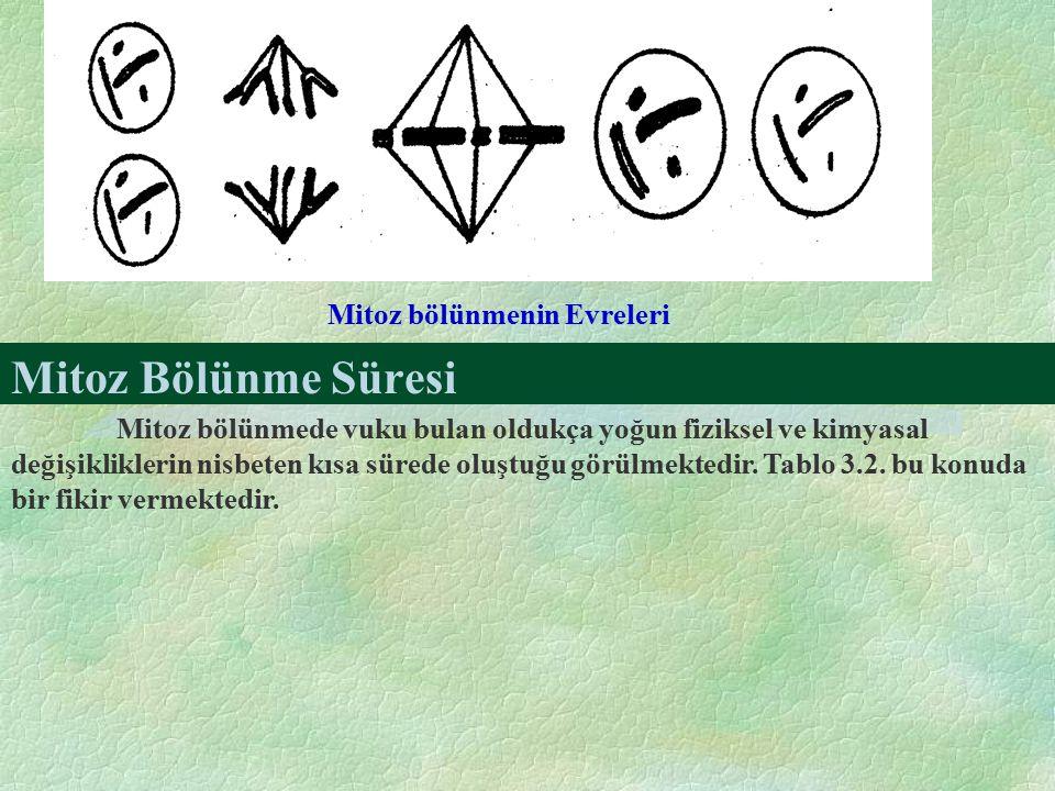 Mitoz Bölünme Süresi Mitoz bölünmenin Evreleri